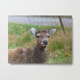 The young Highland Deer - Loch Arkaig, Highlands of Scotland - 2019 Metal Print
