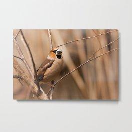Hawfinch Metal Print
