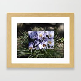 Conjuring the Crocuses in March  Framed Art Print