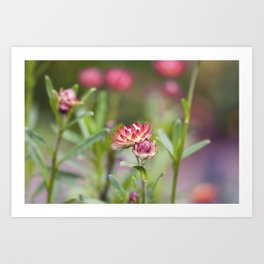 Pink Crowne Flower Art Print
