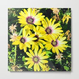 Vibrant Spring Yellow Daisies Bathed in Warm Sunshine Metal Print