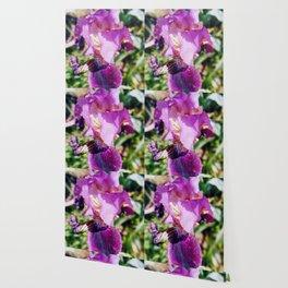 Purple Striped Bearded Iris Wallpaper