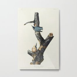 Red-breasted Nuthatch from Birds of America (1827) by John James Audubon etched by William Home Liza Metal Print