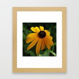 Golden glow of a black-eyed Susan Framed Art Print