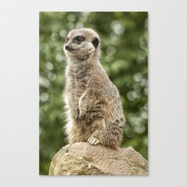 Slender Tailed Meerkat Canvas Print