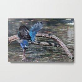 Swamphen (Purple Gallinules) Metal Print