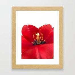 Open red tulip Framed Art Print