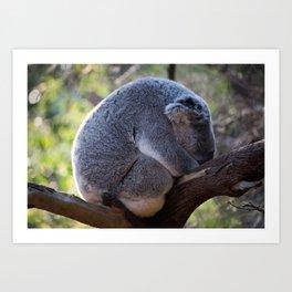 Sleeping Australian Koala, Curlewis, NSW Art Print