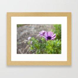 Osteospermum in Purple Framed Art Print
