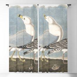 Common american gull, Birds of America, Audubon Plate 212 Blackout Curtain