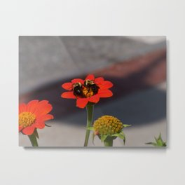 Bumble Bees Sharing a Zinnia Metal Print