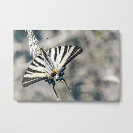 Beautiful Iphiclides podalirius butterfly on ear of corn Metal Print