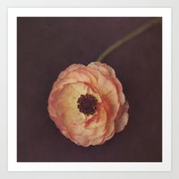 Winter Ranunculus  Art Print