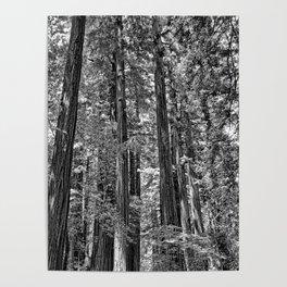 Muir Woods Study 17 Poster