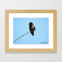 Male Anna's Hummingbird Framed Art Print