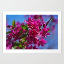 Rosy spring crabapple blossoms - Malus 'Prairifire' Art Print