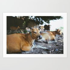 Indonesian Cows Art Print