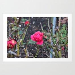 Bright Hot Pink Rose Art Print