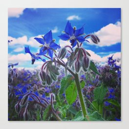 Borage Blues Canvas Print