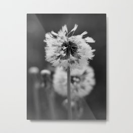 Dew on a Dandelion Metal Print