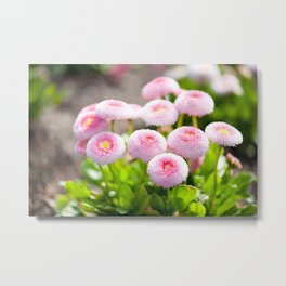 Bellis perennis pomponette flowers Metal Print