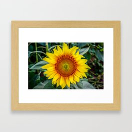 Solo Sunflower Framed Art Print