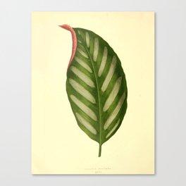 Vintage Botanical illustration, 1867 (Leaf) Canvas Print