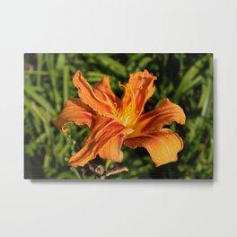 Orange Tiger Lily In Sunlight Metal Print