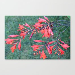 Flower | Flowers | Red Trumpet Vine Canvas Print