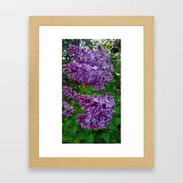 Lilacs in Bloom Framed Art Print