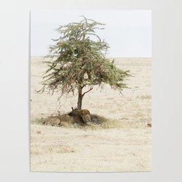 lion under a tree, Ngorongoro Crater, Tanzania Poster