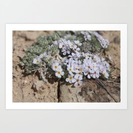Creeping Phlox Art Print