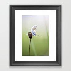 Common Blue Butterfly Framed Art Print