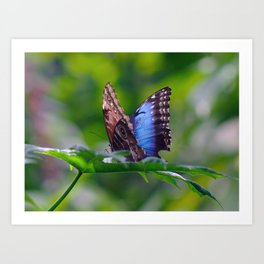 Owl Butterfly With Wings Spread Art Print