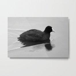 White billed Duck Metal Print