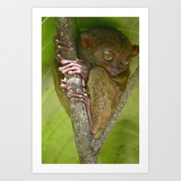 Tiny Tarsier... Art Print