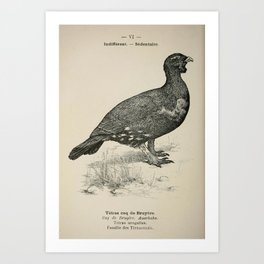 006 Western Capercaillie tetrao urogallus2 Art Print
