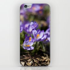 Purple Crocuses iPhone & iPod Skin