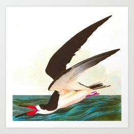 Black Skimmer or Shearwater Bird Art Print