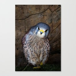 Falco tinnunculus or the common Kestrel Canvas Print