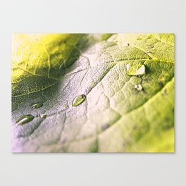 Water Drops On Rose Leaf Canvas Print