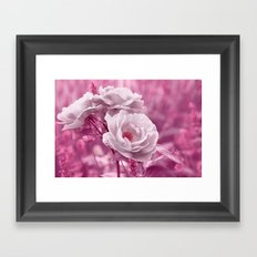 Rose white pink 017 Framed Art Print