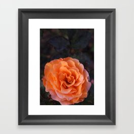 Holland Park Rose Framed Art Print