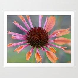 #406 Echinacea angustifolia  house  bitterroot mt macro  Art Print