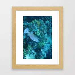 Blue pursed-lip boxfish Framed Art Print