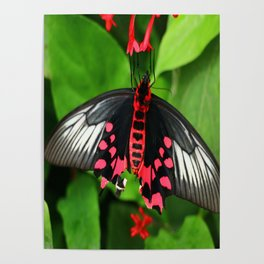 Batwing  Butterfly Poster