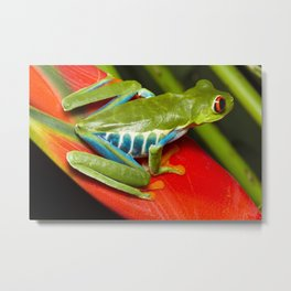 Red Eye Tree Frog on a Heliconia, Costa Rica Metal Print