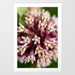 Macro Milkweed Art Print