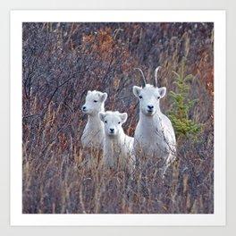Dall Sheep Ewe With Lambs Art Print
