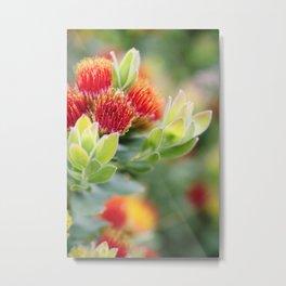 Tufted Pincushion Protea Metal Print